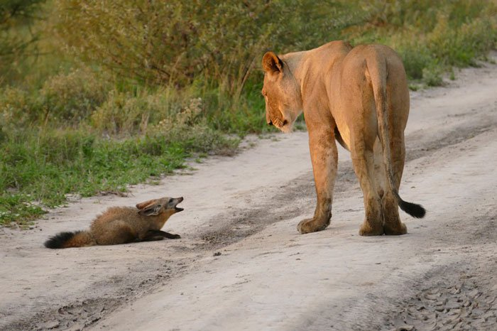 <strong>La lionne aperçoit le renard blessé qui à l'air effrayé. </strong>