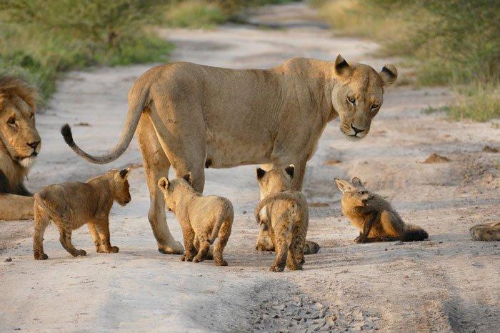 <strong>Le lion se pointe le bout du nez.</strong>