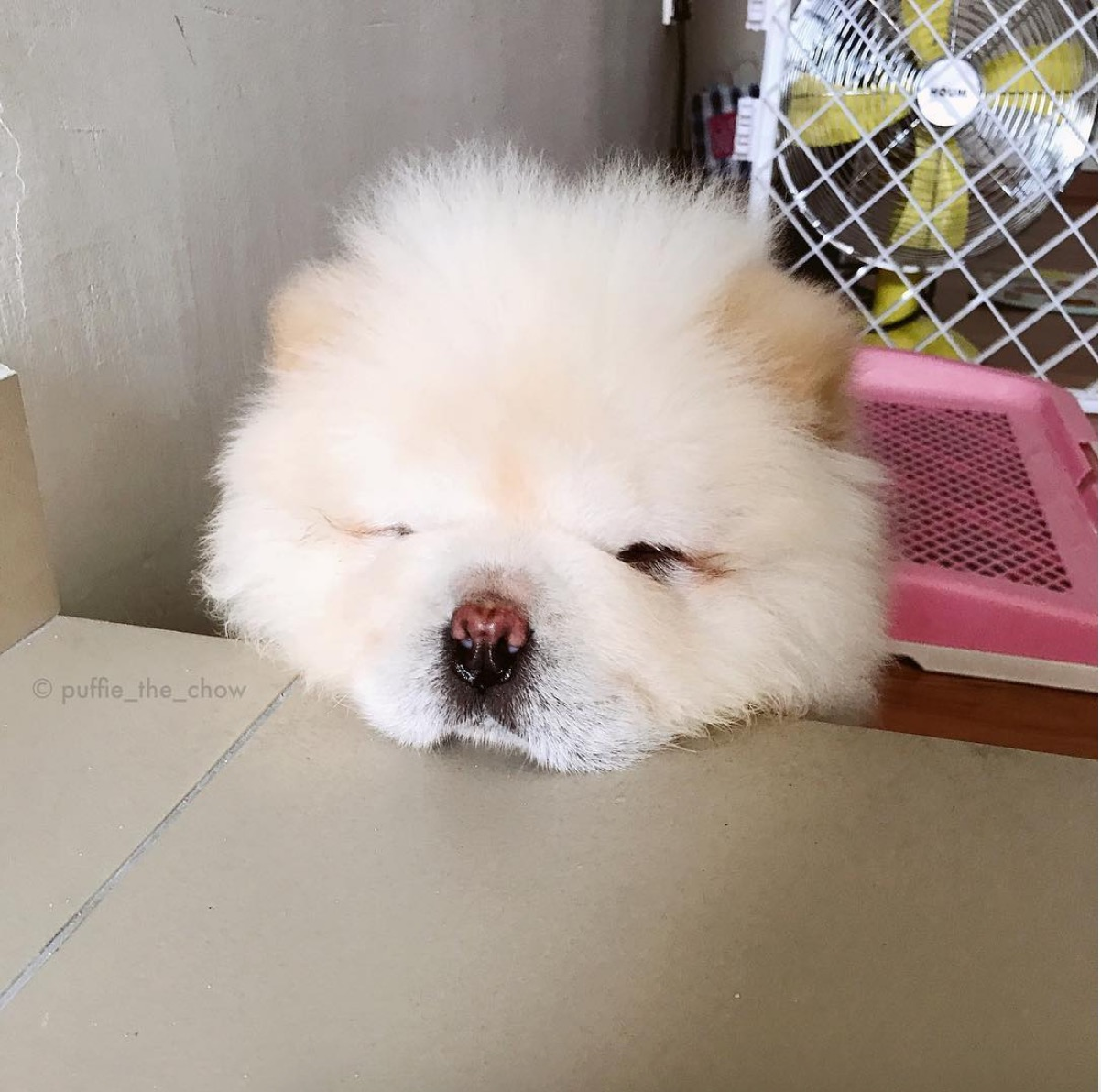 """Puffie le chow-chow : """"coucou!"""""""