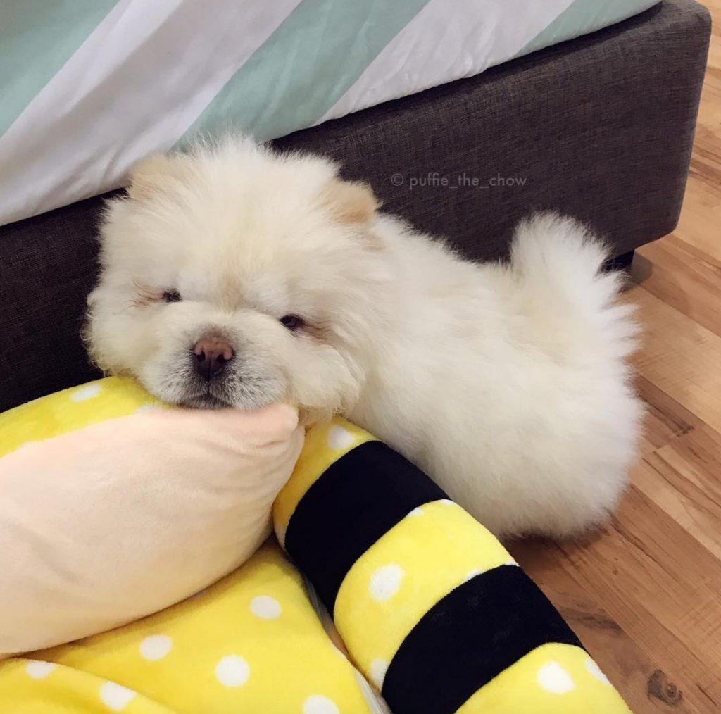 """Puffie le chow-chow : """"une petite sieste me fera le plus grand bien"""""""