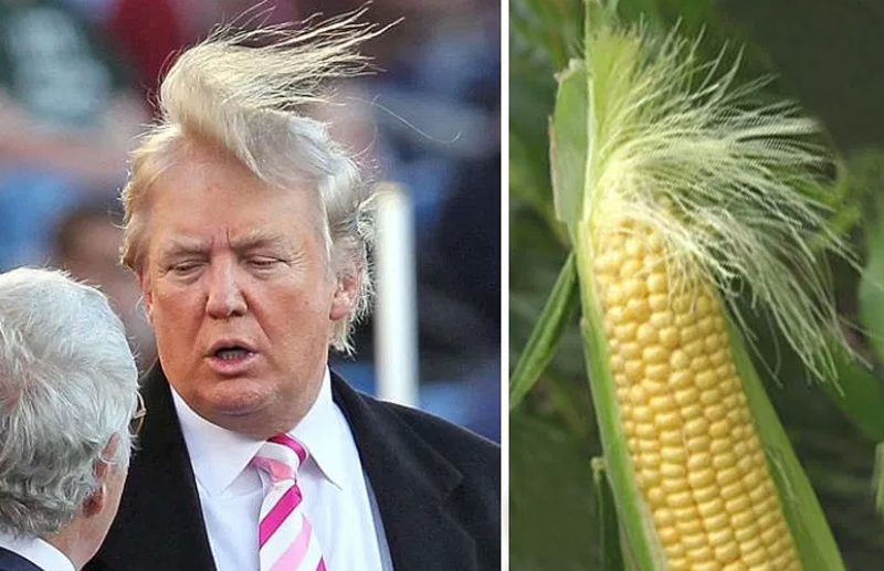 Donald Trump et l' épi de maïs