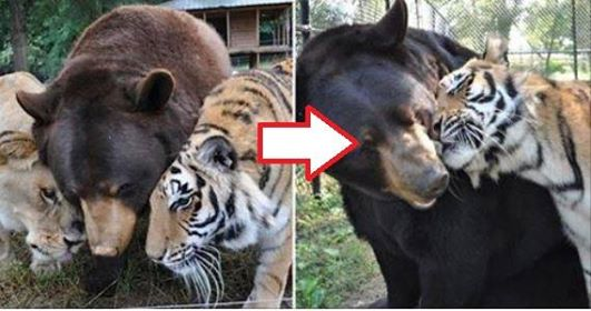 Ce lion, ce tigre et cet ours ne se quittent plus après 15 ans passés ensemble. Quel lien fort !