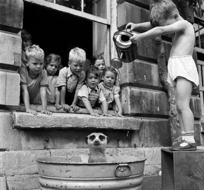 Des enfants en train de laver un suricate en Afrique de Sud en 1950