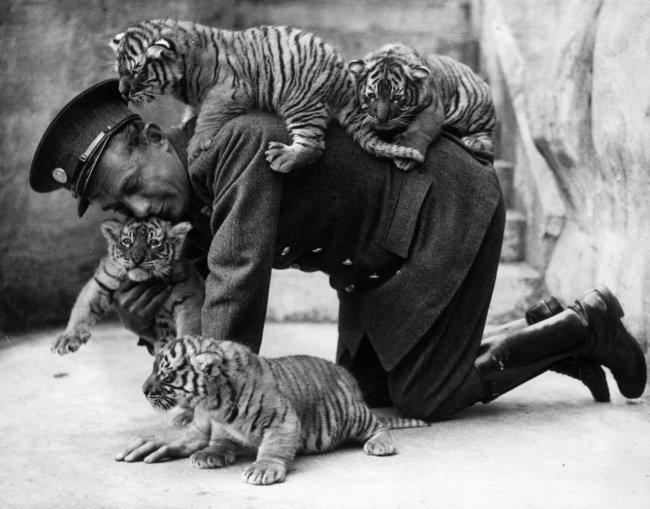 Gardien de zoo s'amusant avec des tigrons (1937)