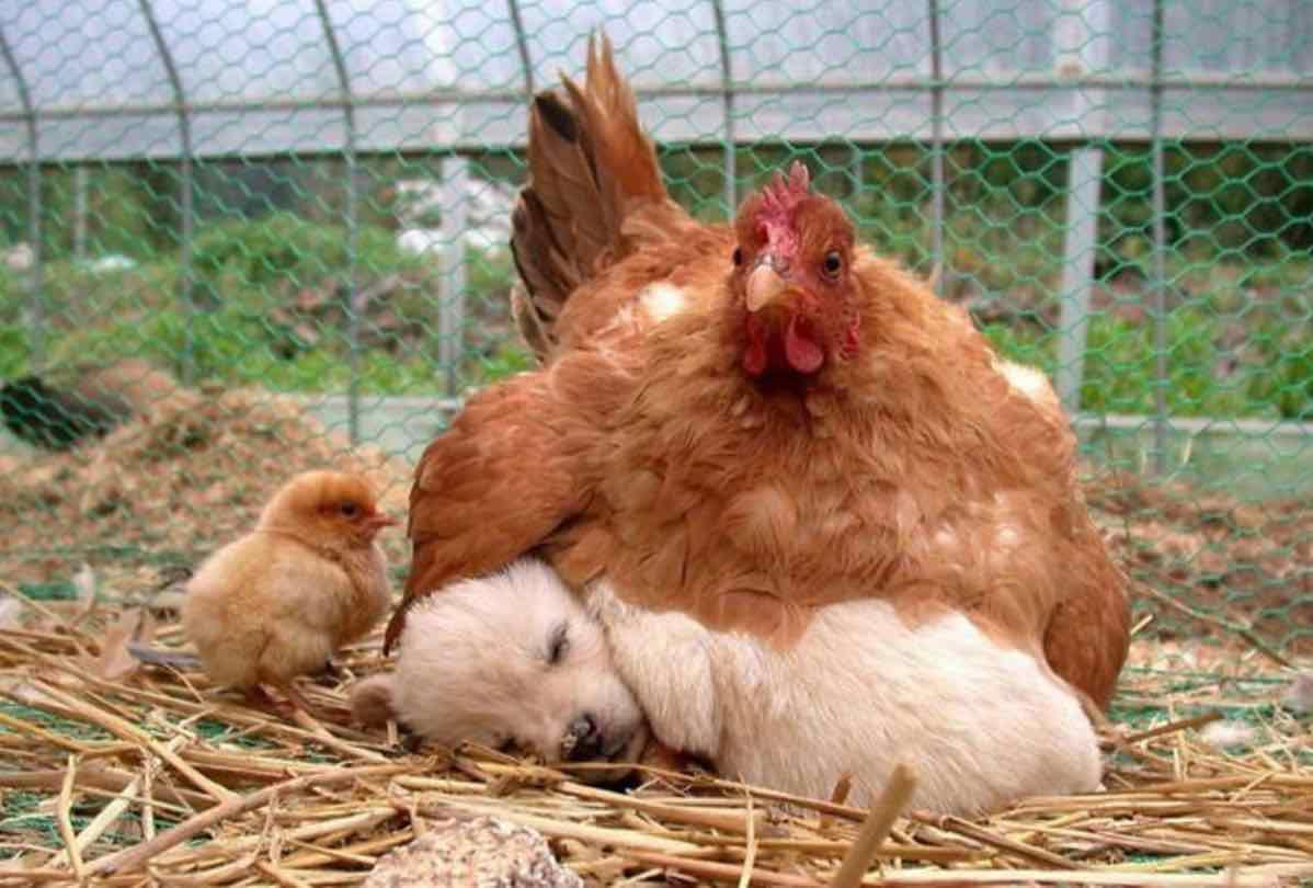 La poule qui couve le chiot