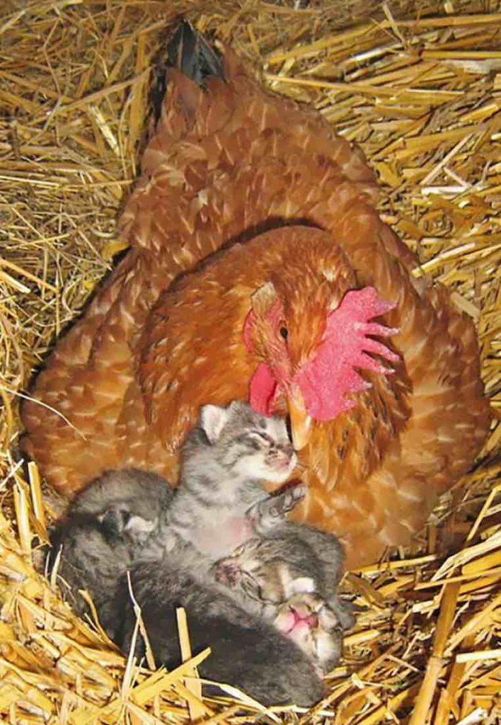 La poule qui n'hésite pas à adopter des bébés chats à la ferme