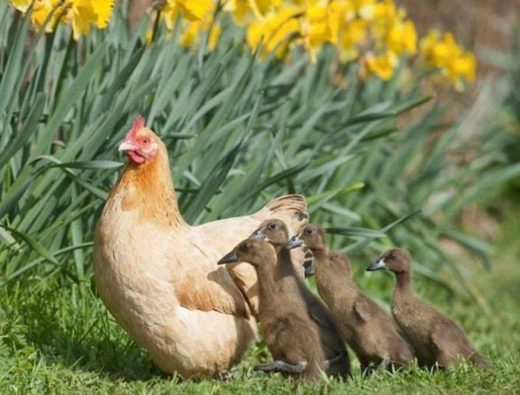 La poule face à cinq canards