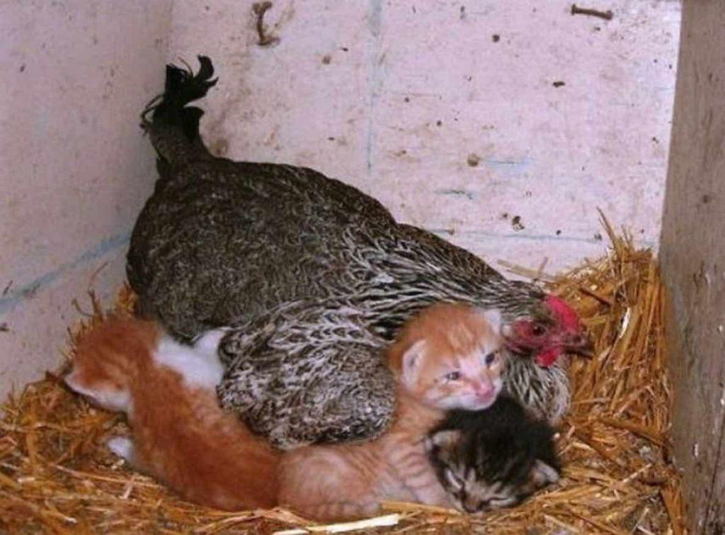 La poule et ses chatons