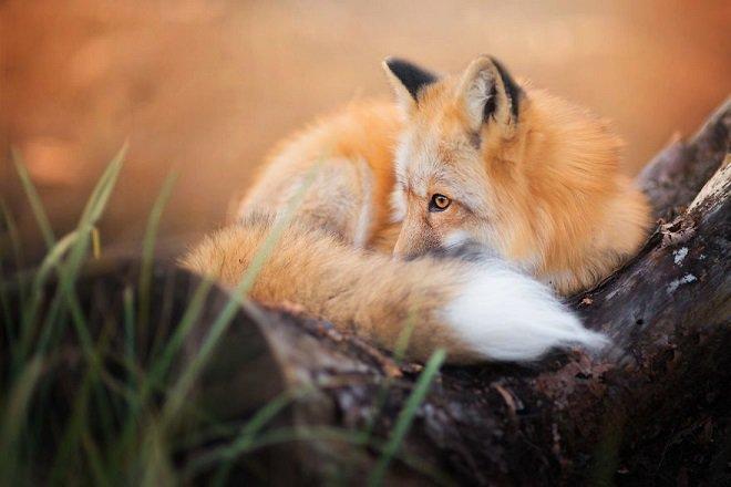 Freya, un renard à la beauté renversante