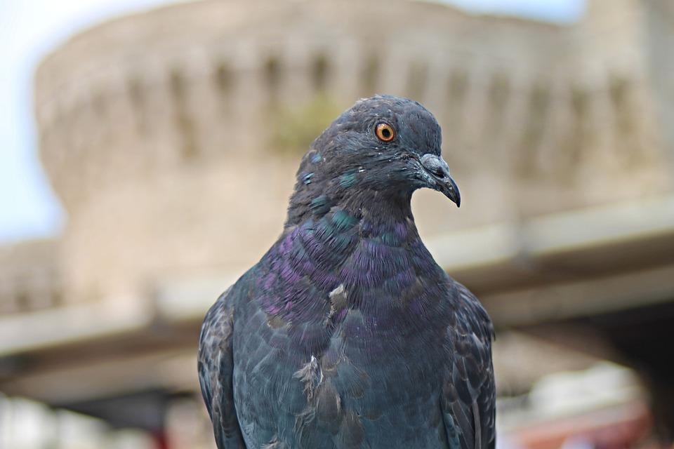 Comme un moyen de chasser les pigeons