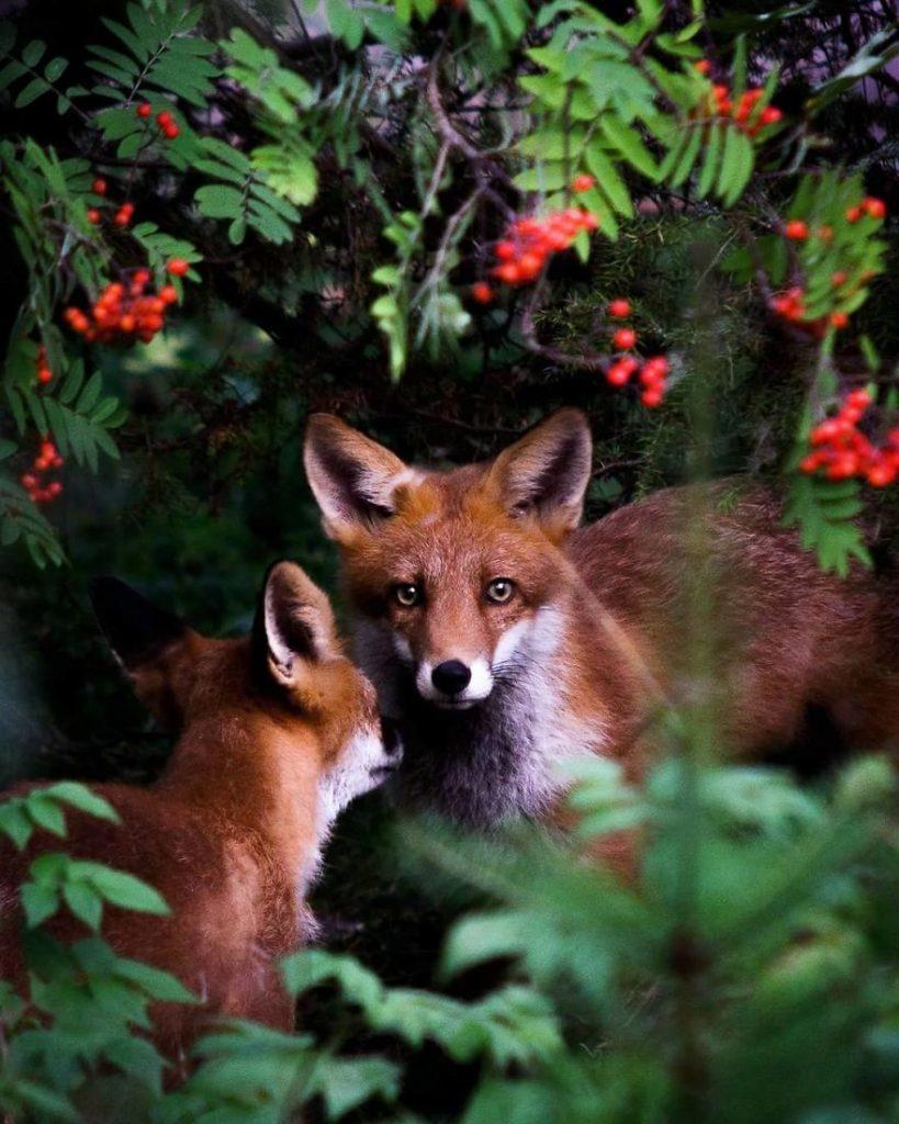 Des renards dans un magnifique cadre