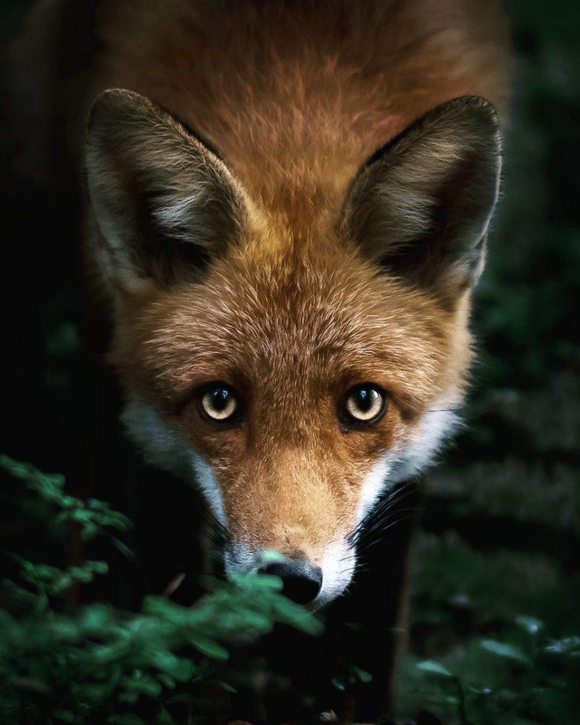 Un renard au regard plein de malices