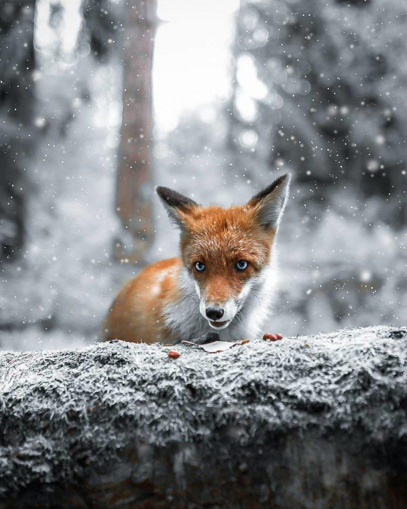 Un renardeau sous la neige