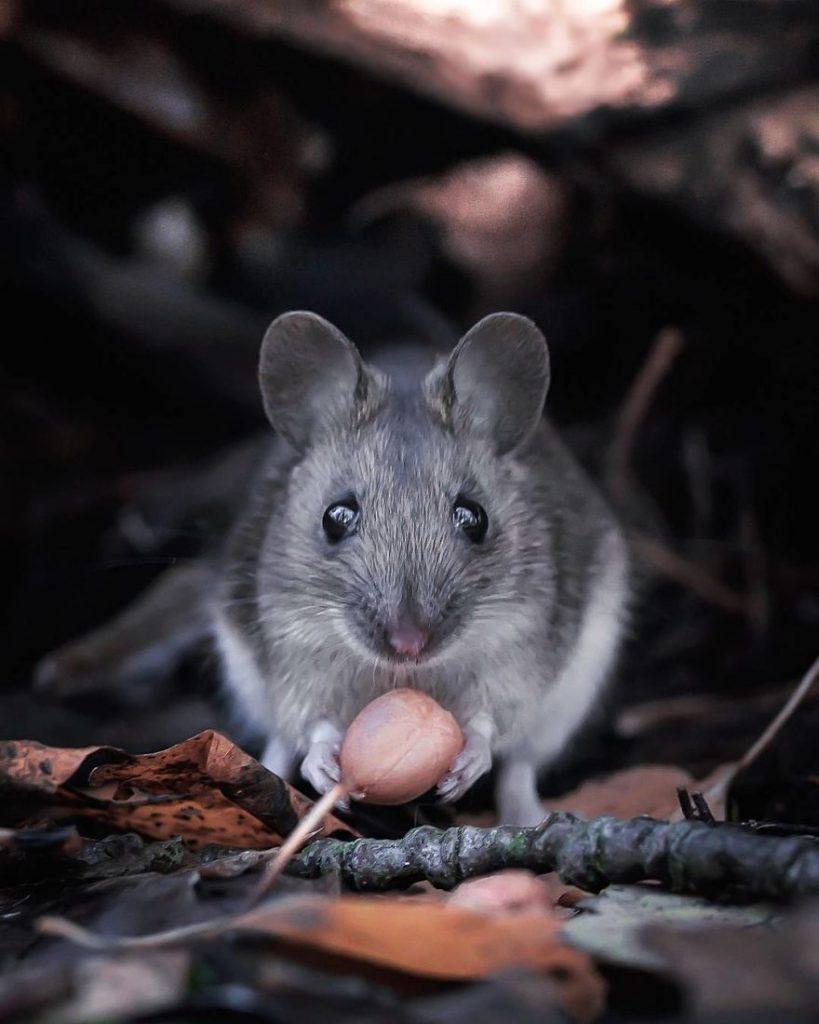 Une souris au regard attendrissant