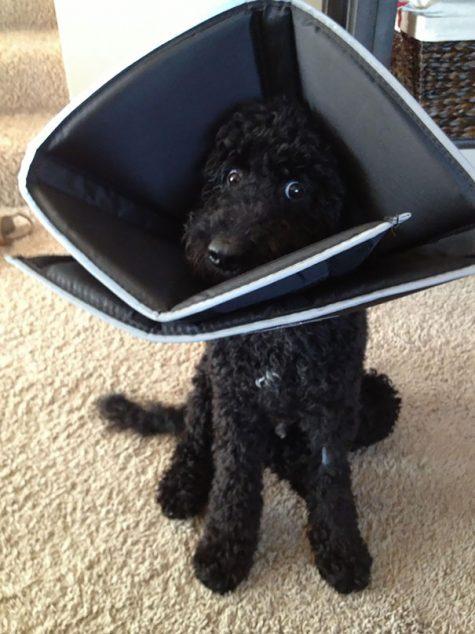Les yeux de mon chien en disent long après son opération