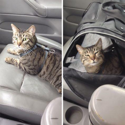 Voici le regard de ce chat durant le trajet de retour à la maison, après la visite chez le vétérinaire
