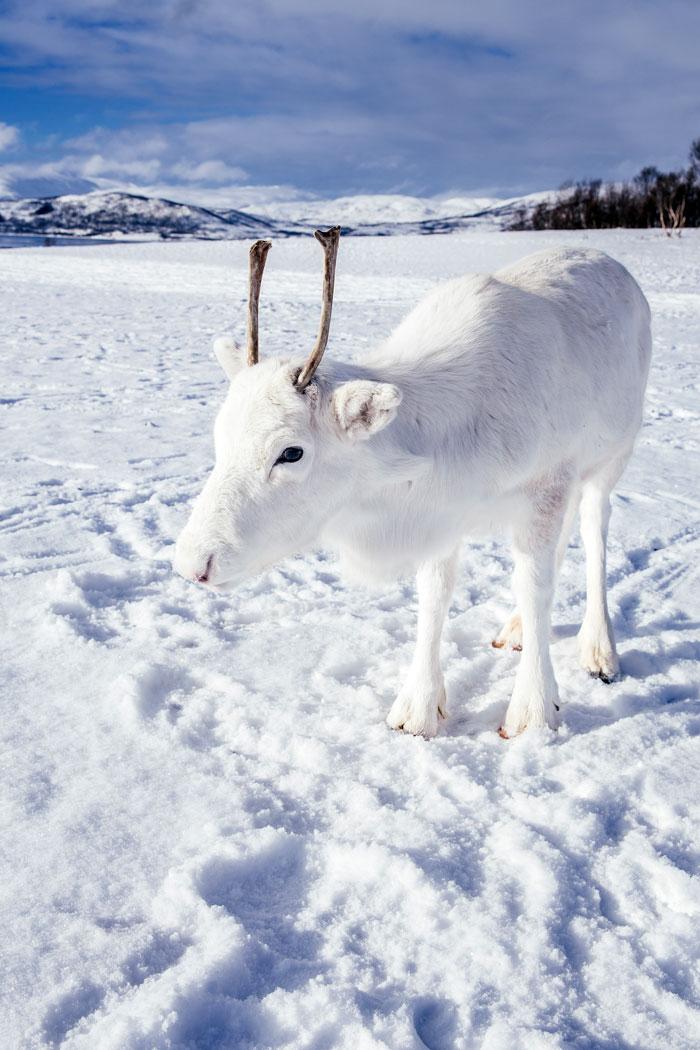 Les rennes blancs une mutation génétique…