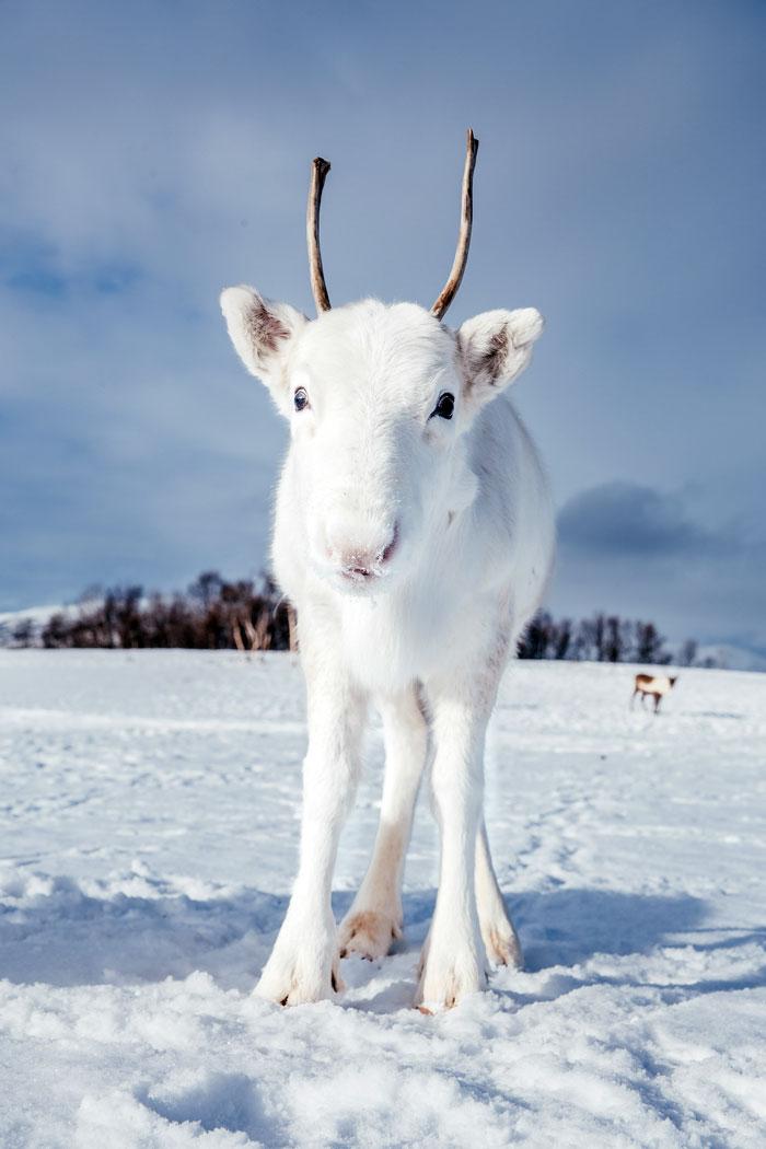 La beauté du renne blanc et sa mère en arrière-plan