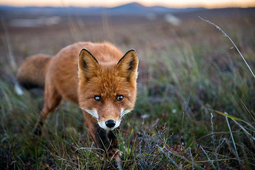 La curiosité du renard l'emporte…