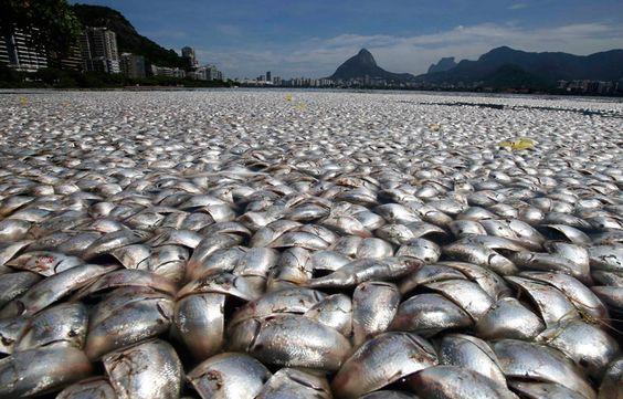 Une quantité incroyable de poissons morts à Río de Janeiro.