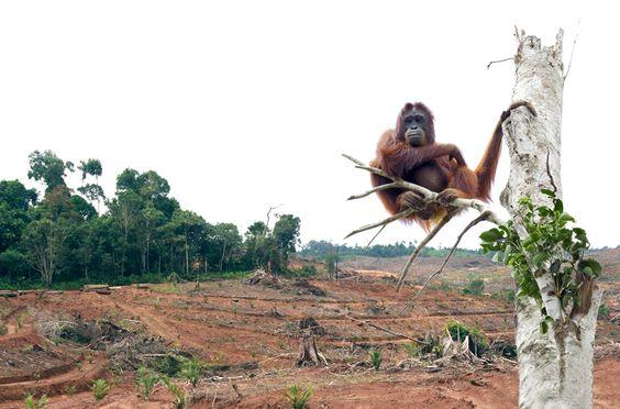 Une forêt complètement décimée pour produire des bio-combustibles.