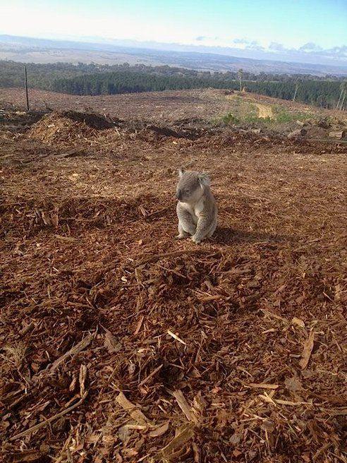 Un habitat d'un koala totalement détruit.