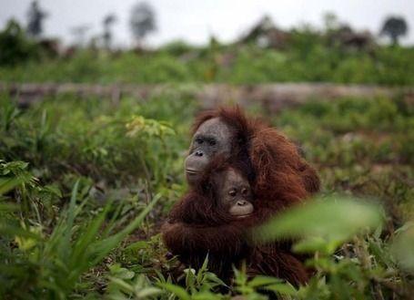 Une femelle orang-outan et son petit à Sumatra.