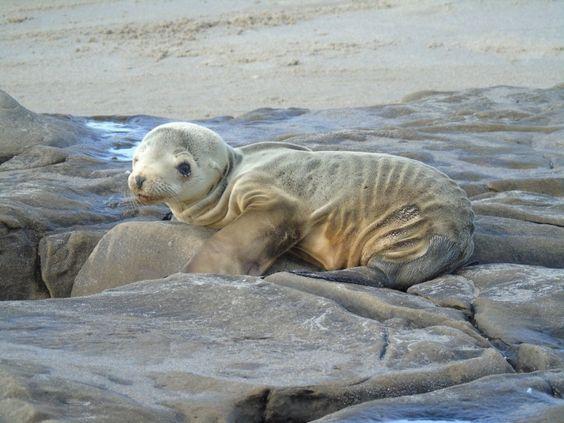 Les lions de mer affamés en Californie à cause de la pêche abusive.