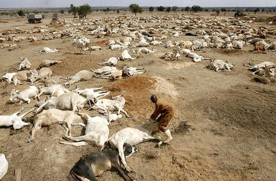 Des vaches mortes en Afrique (Kenya).