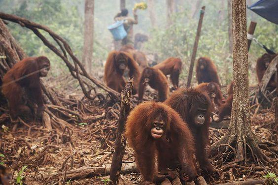 Des orangs-outans qui souffrent de la déforestation.