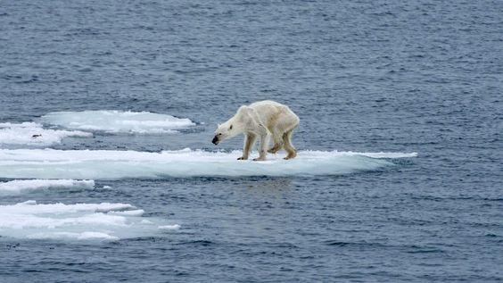 Un ours polaire qui meurt de faim suite au réchauffement de la calotte polaire..