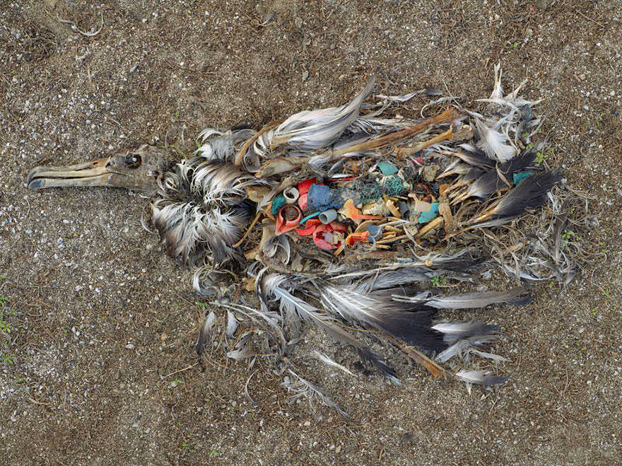 Albatros tué par une ingestion excessive de plastique dans les îles Midway (Pacifique Nord)