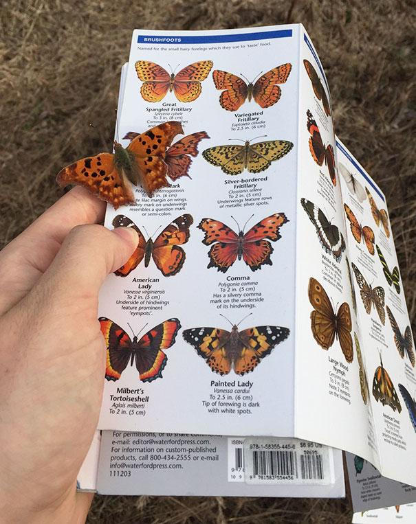 Un papillon que veut savoir sa description