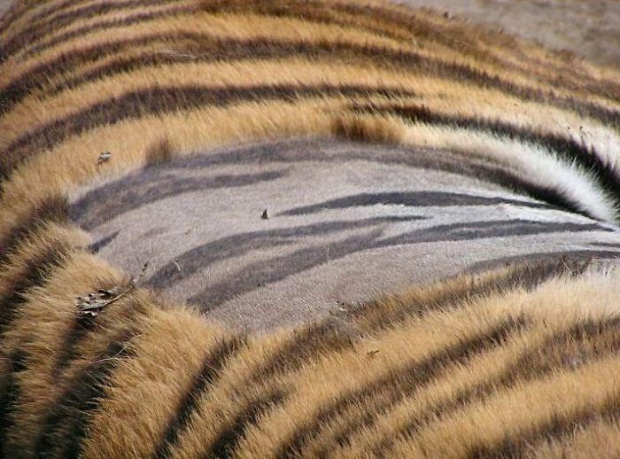 La peau d'un tigre rasée