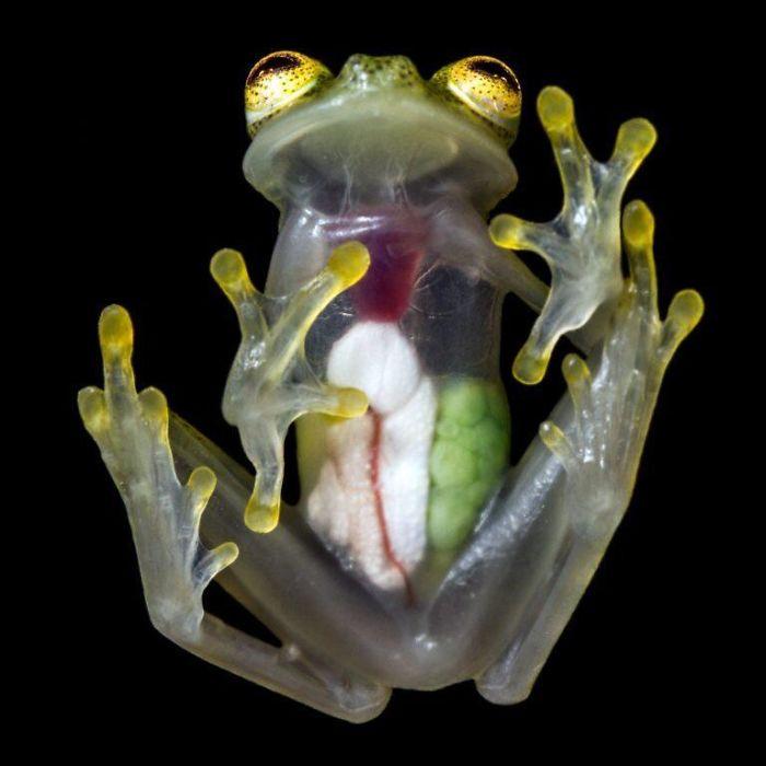 Toutes les organes d'une grenouille